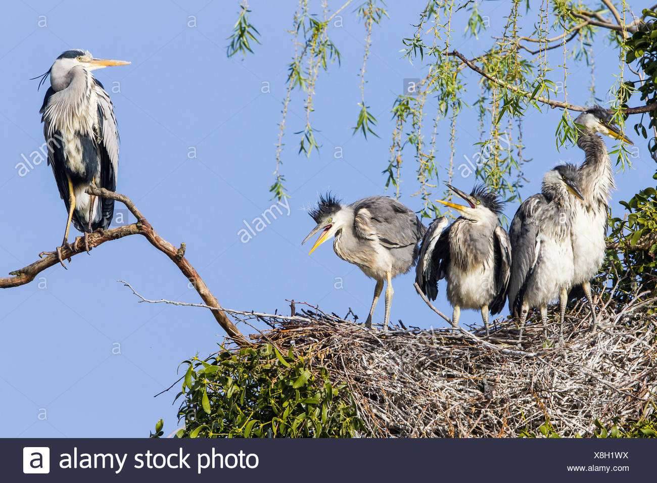 Grey Heron (Ardea cinerea), young birds in a nest with an adult bird, Lower Saxony, Germany - Stock Image