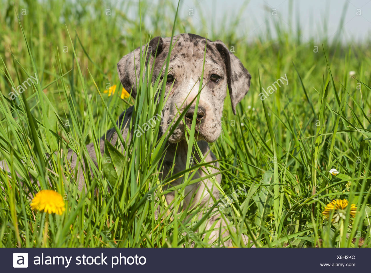 Great Dane, puppy, spotted - Stock Image