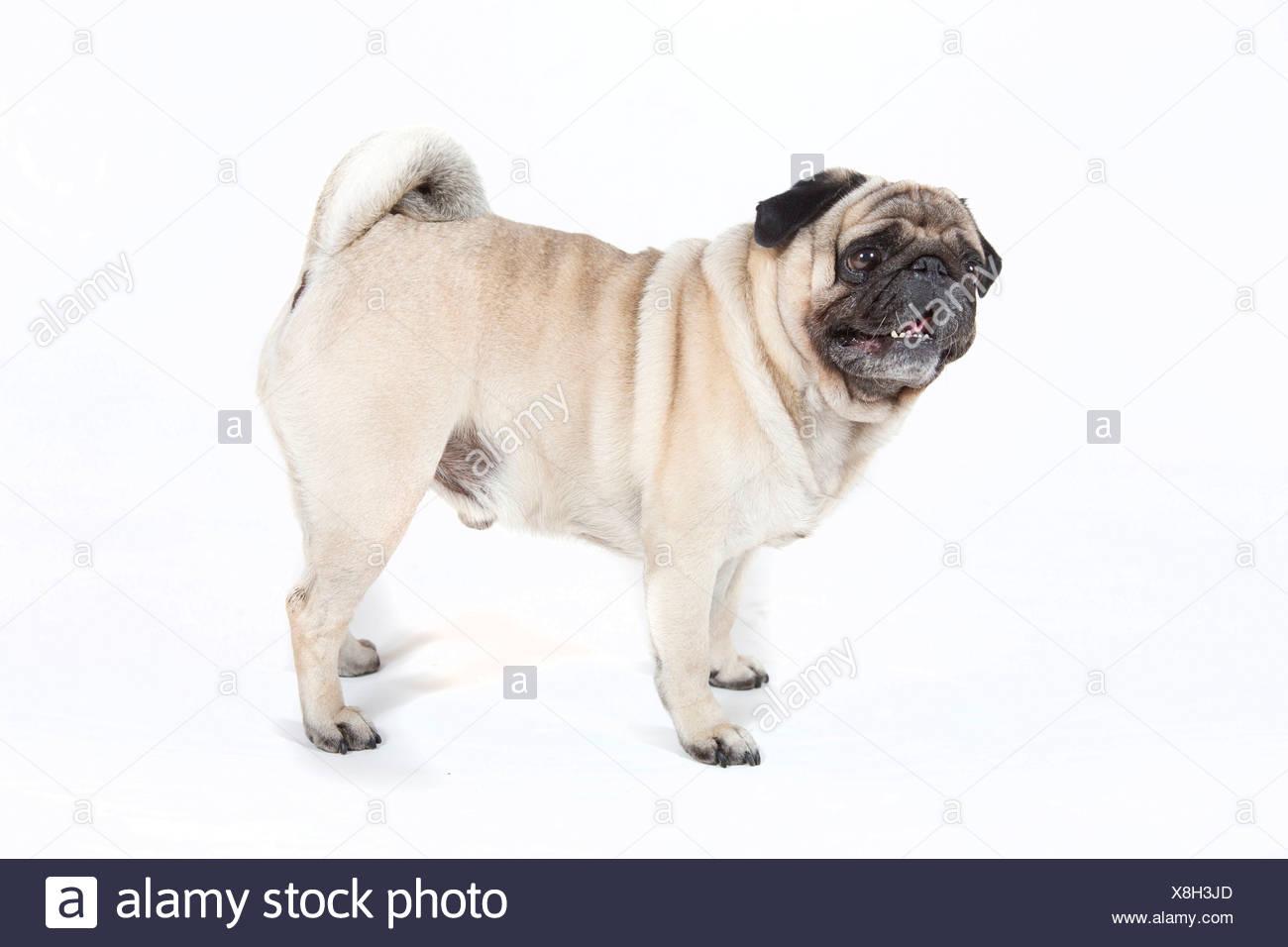 Fat pug, carlin - Stock Image