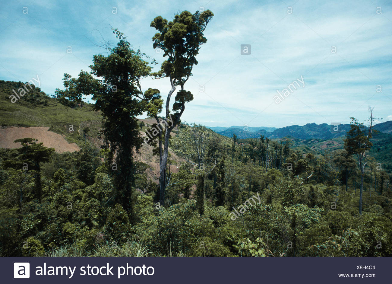 relic of primary forest, Philippines, Cebu - Stock Image