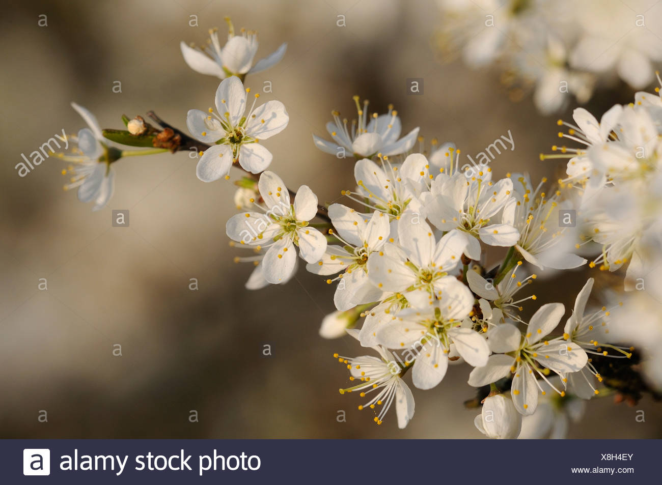Blossoming Blackthorn or Sloe (Prunus spinosa) - Stock Image