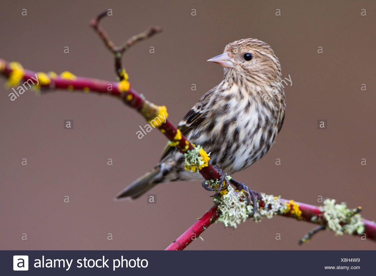 Pine siskin (Carduelis pinus) perched on a branch in Victoria, Vancouver Island, British Columbia, Canada - Stock Image