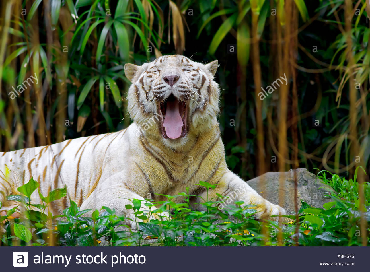 roaring tiger stock photos & roaring tiger stock images - alamy