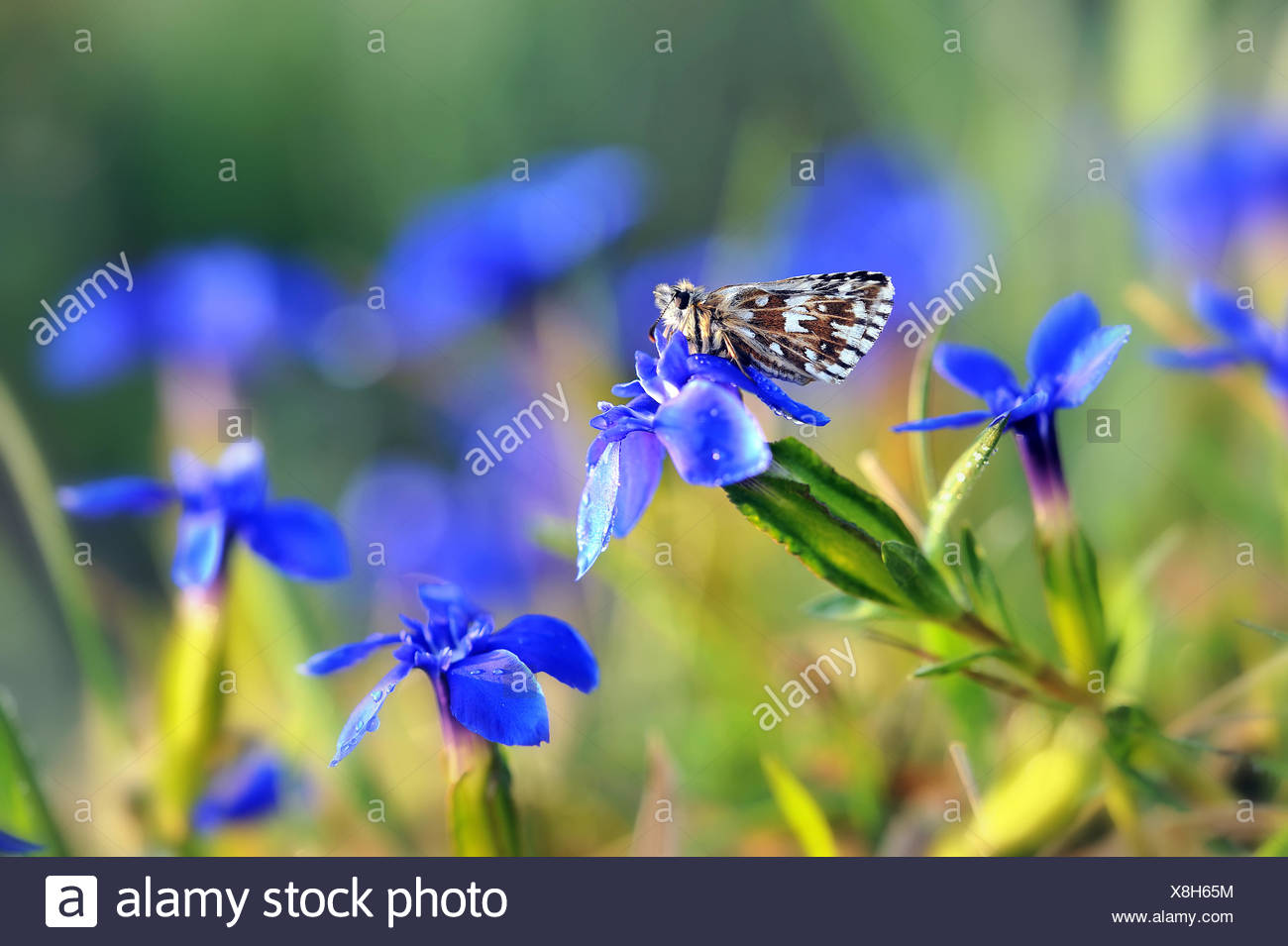 grizzled skipper on blue stemless gentian - Stock Image