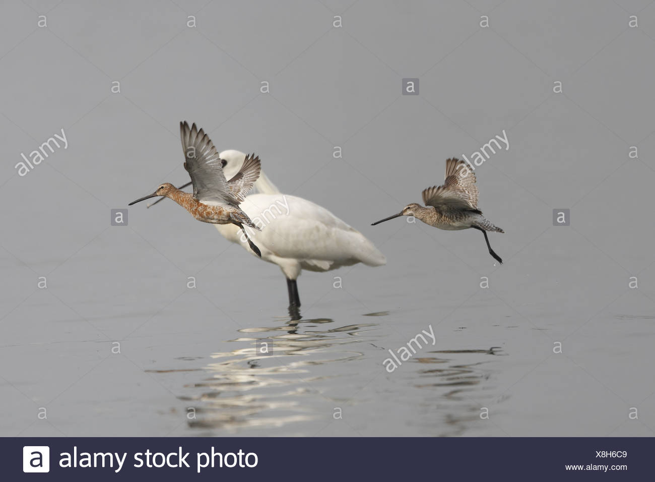 Asian Dowitcher (Limnodromus semipalmatus) two adults one in almost full  breeding plumage and other