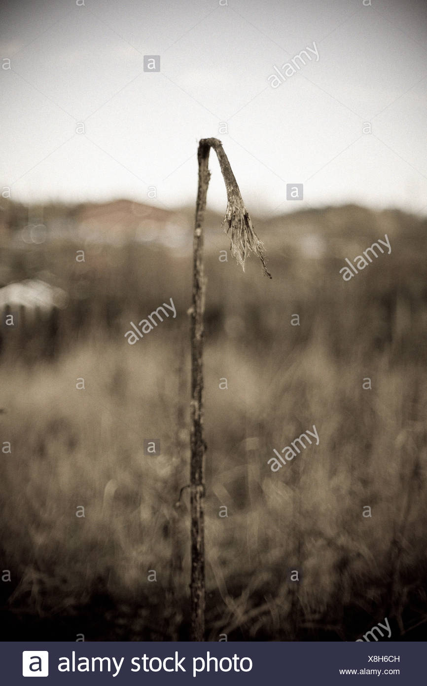 An old plant Sweden. - Stock Image