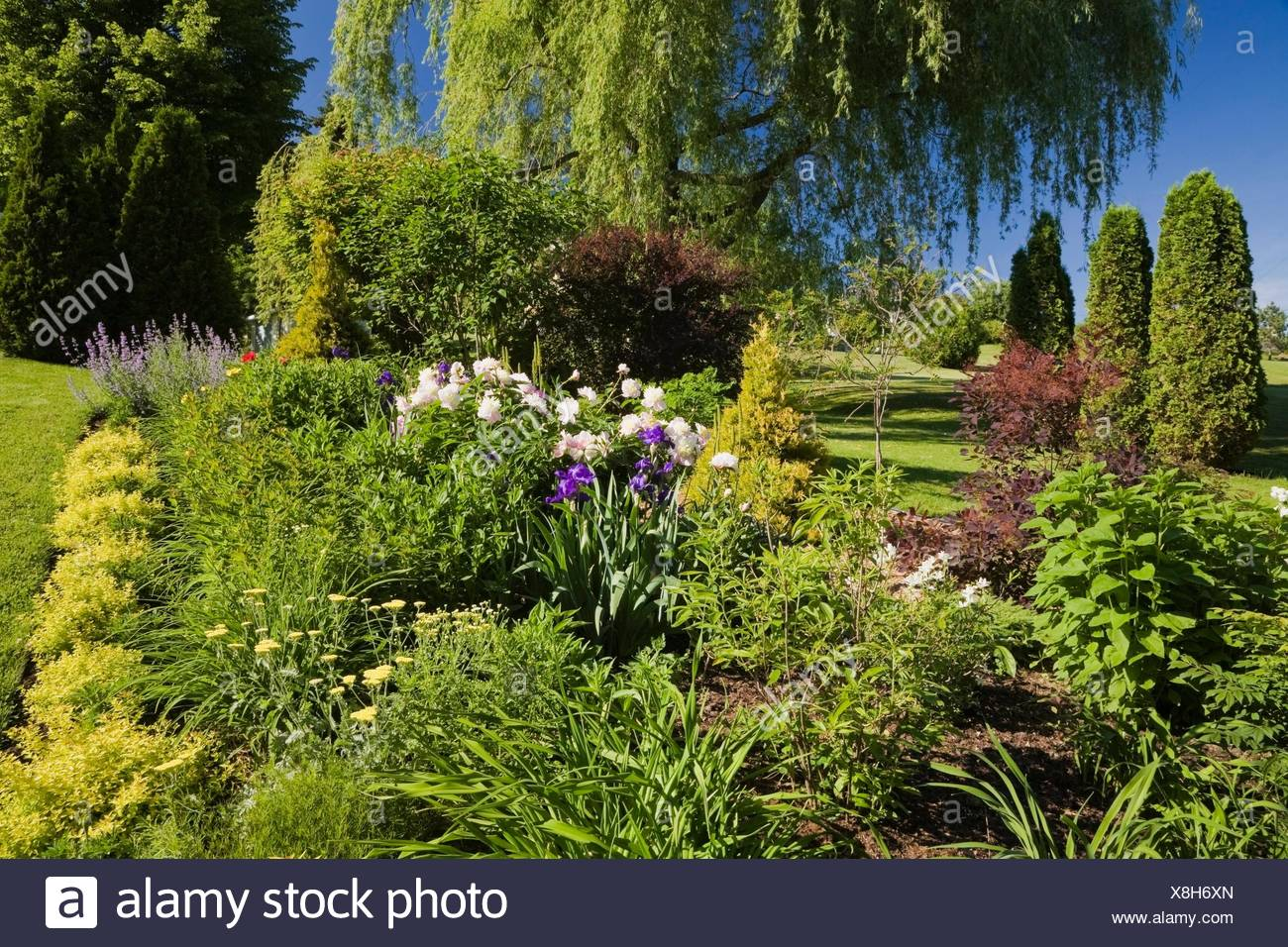 Garden border with spiraea japonica gold flame pink peony yellow garden border with spiraea japonica gold flame pink peony yellow yarrow flowers and weeping willow tree in spring mightylinksfo