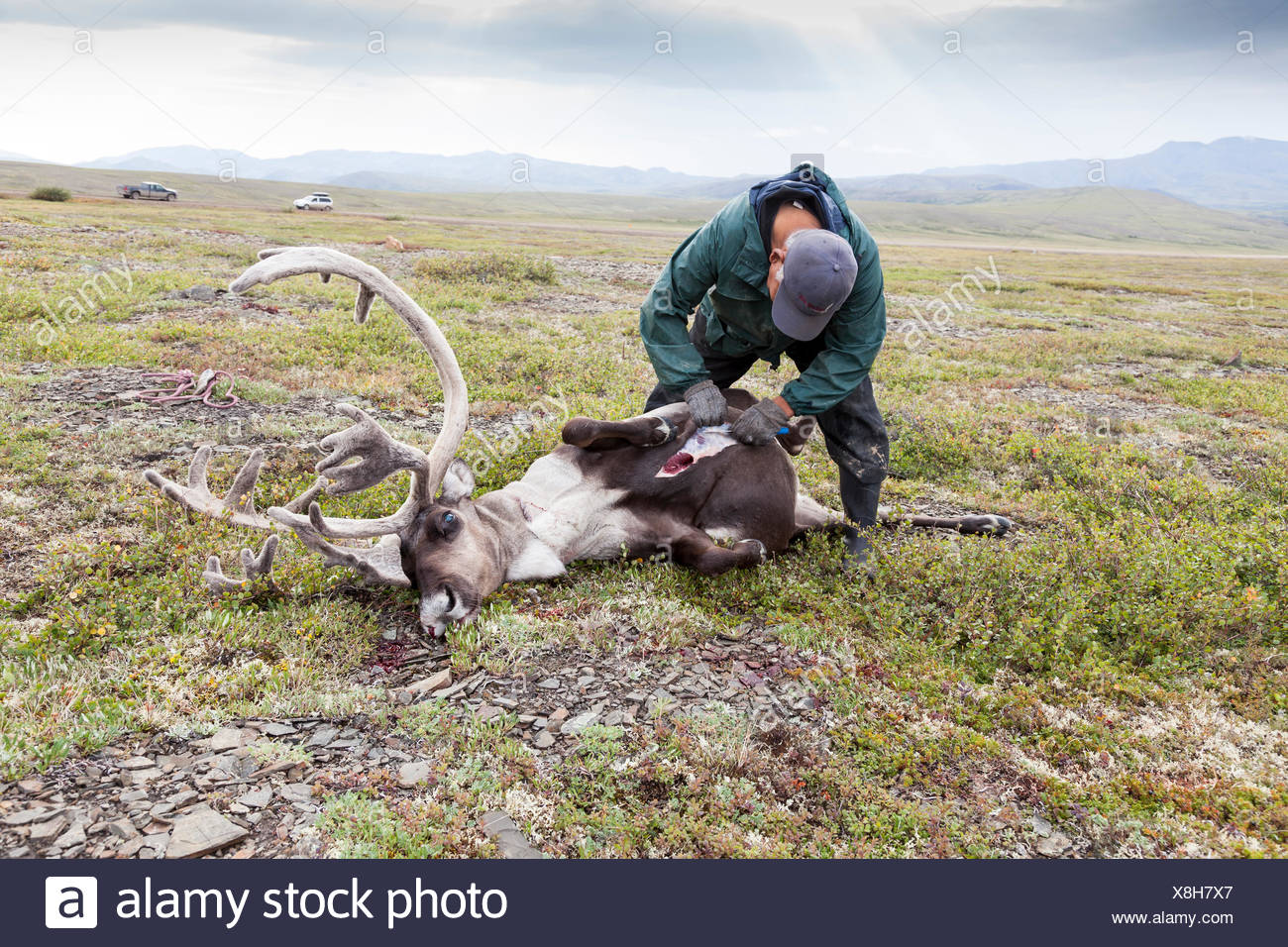 A Gwich'in hunter gutting the kill on the Arctic tundra - a caribou from the porcupine herd, Northwest Territories, Canada - Stock Image