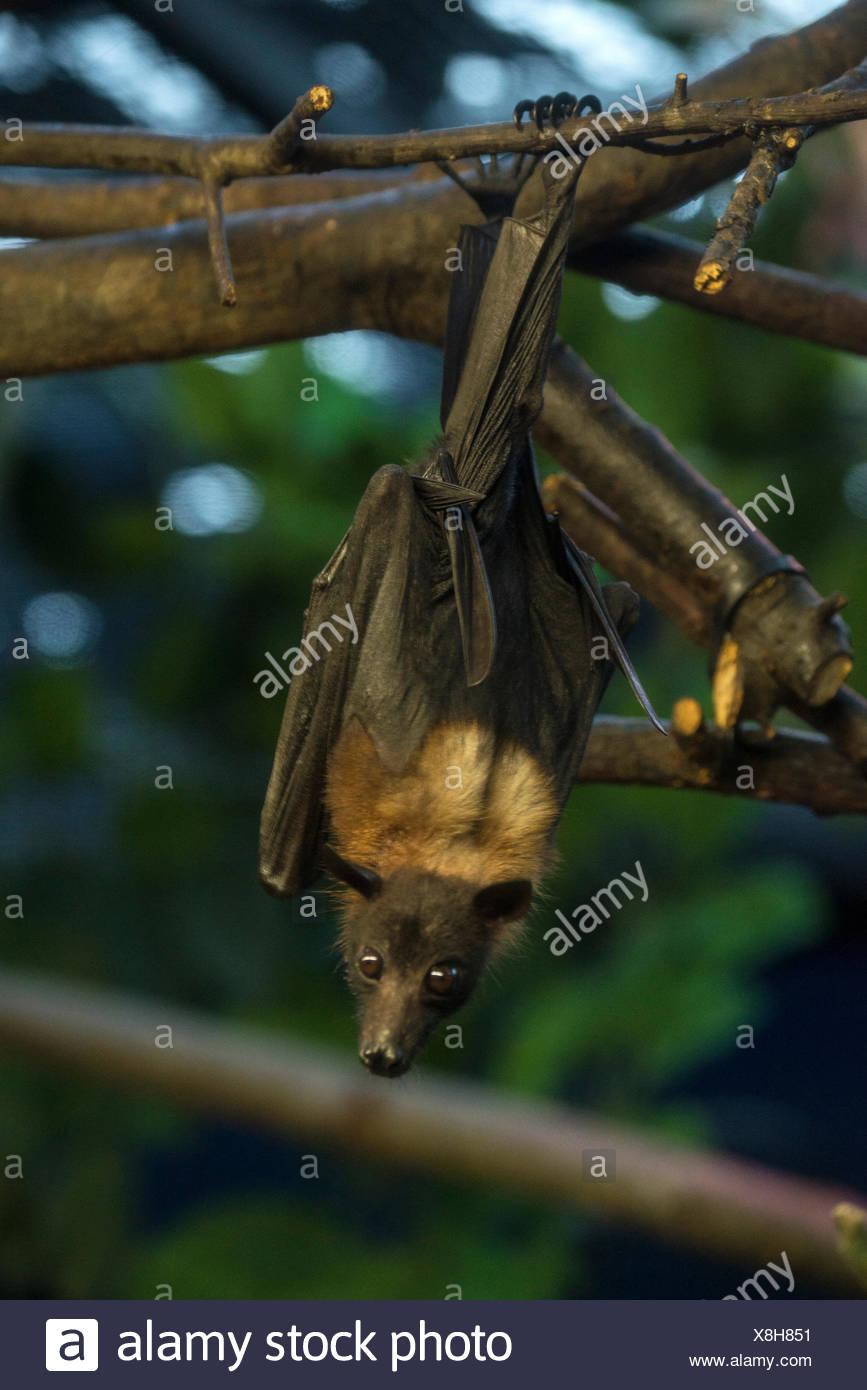 indian flying fox, fruit bat, pteropus giganteus, animal, flying fox, bat, USA, United States, America, Stock Photo