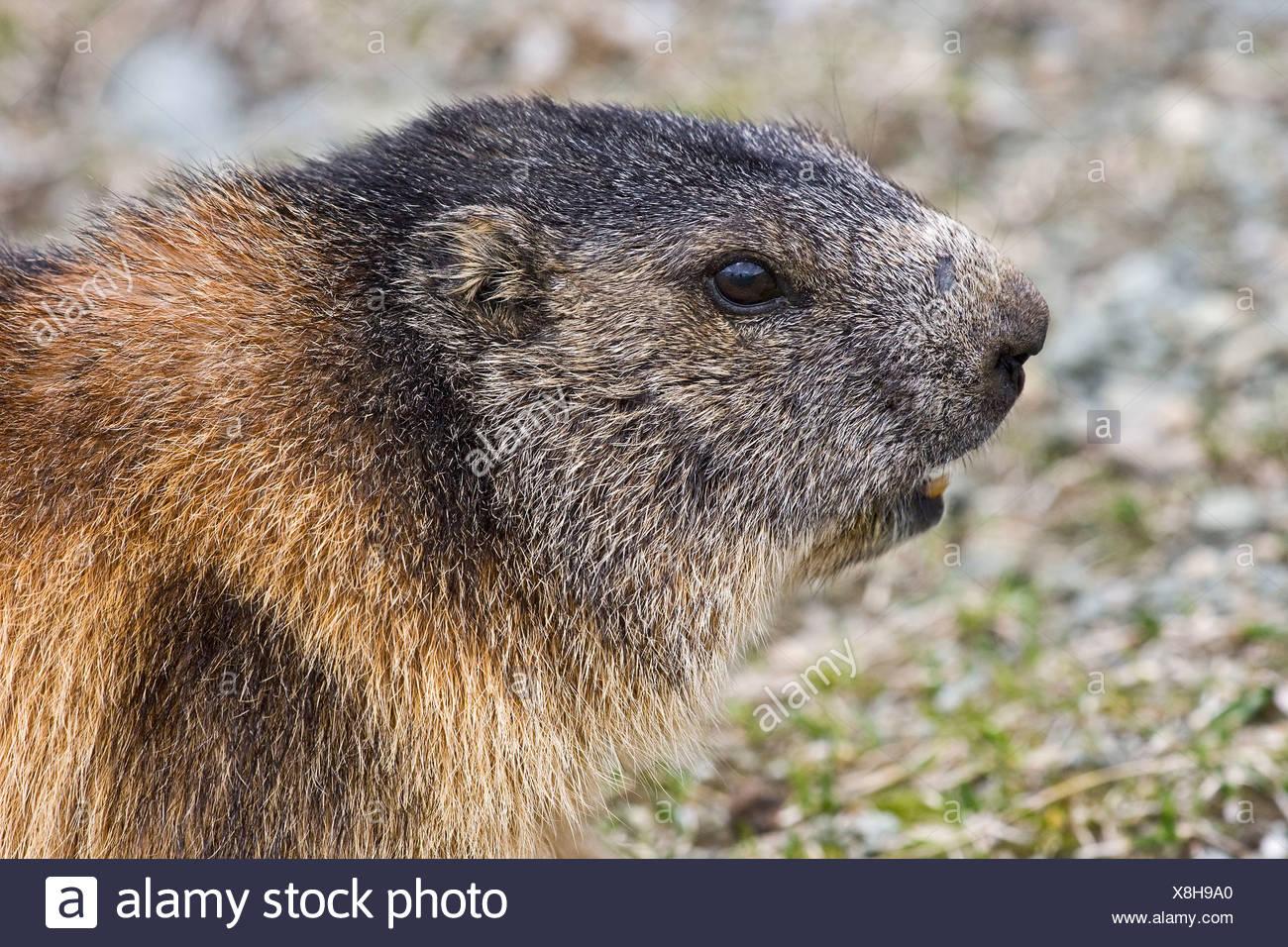 Alpine marmot - Stock Image