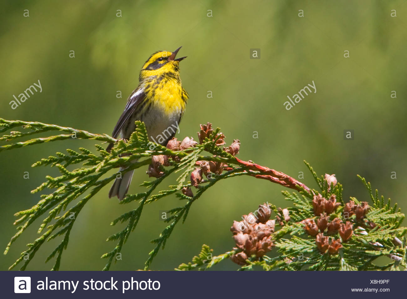 Townsend's warbler (Dendroica townsendi) perched on an evergreen branch in Victoria, Vancouver Island, British Columbia, Canada - Stock Image