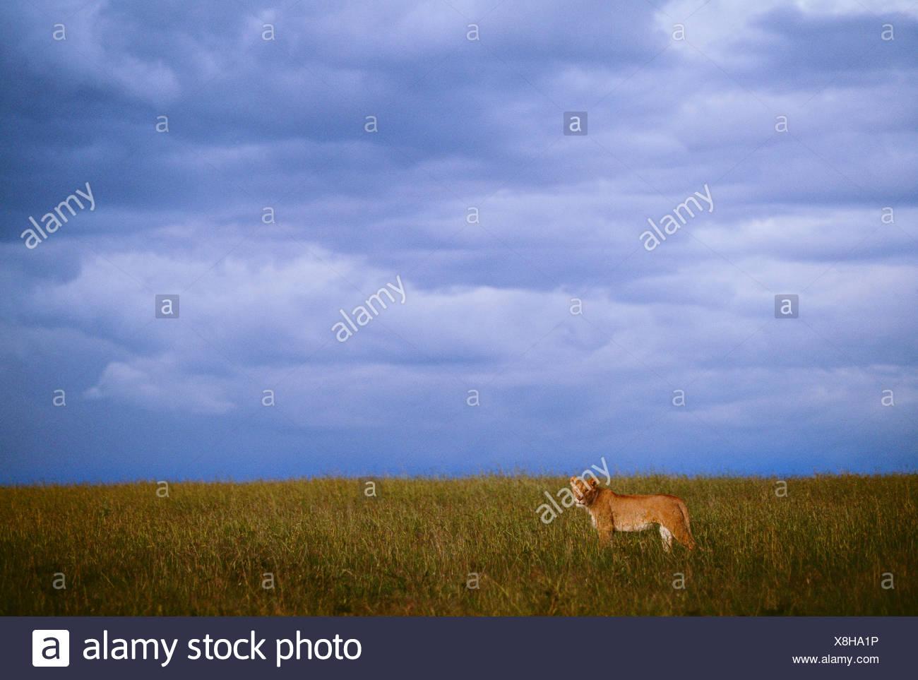 African lion, Masai Mara National Reserve, Kenya - Stock Image