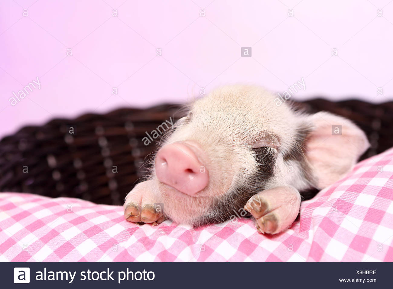Domestic Pig, Turopolje x ?. Piglet sleeping on pink-checkered pillow in a basket. Studio picture seen against a pink background. Germany - Stock Image