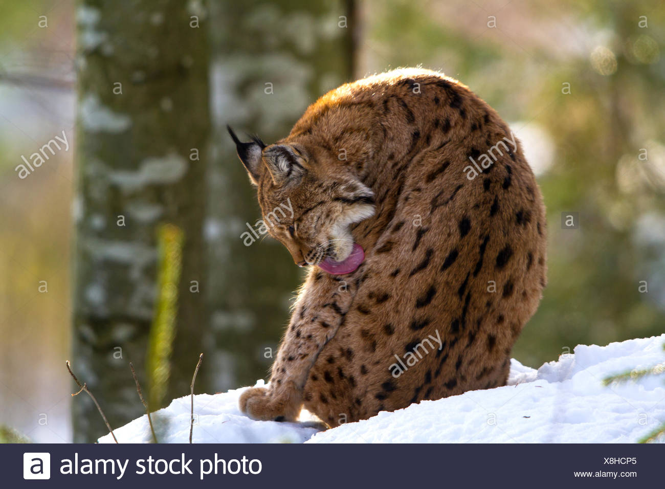 Eurasian lynx (Lynx lynx), sitting in snow caring of its fur, Germany, Bavaria, Bavarian Forest National Park - Stock Image