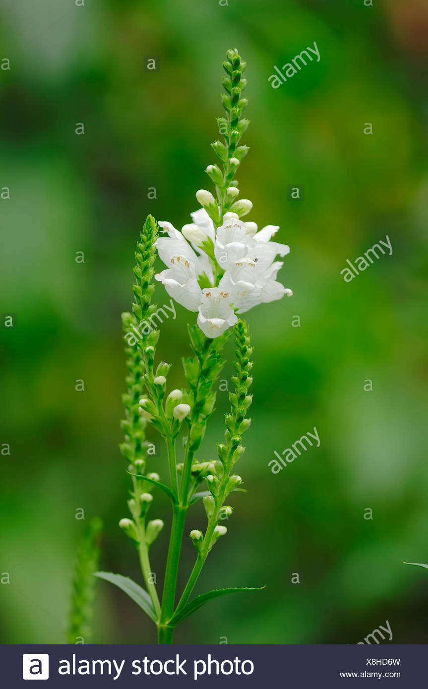 Obedient Plant or False Dragonhead (Physostegia virginiana), native to North America, garden plant Stock Photo