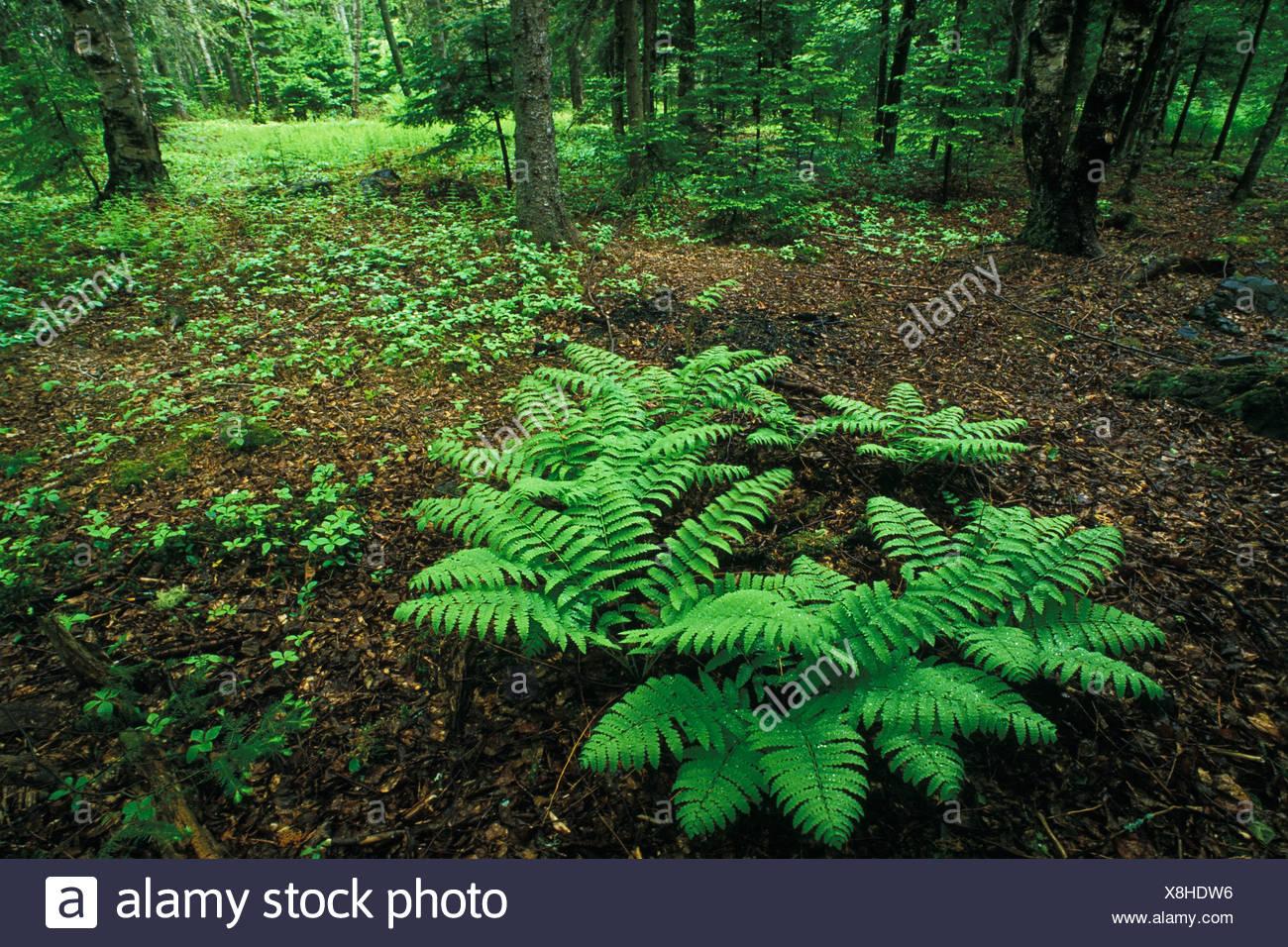 Ferns in spring woodland floor, Kingston, New Brunswick, Canada Stock Photo