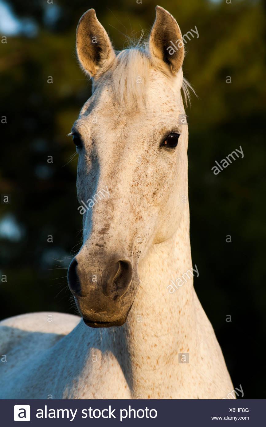 Lusitano horse, mare, white horse, Andalusia, Spain - Stock Image