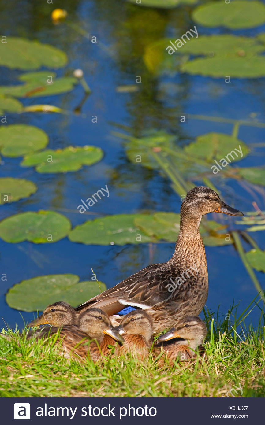 mallard (Anas platyrhynchos), female with chicks on the waterfornt, Germany - Stock Image