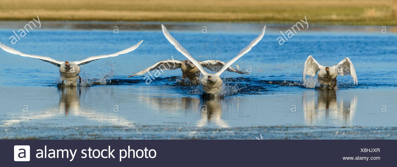 mute swan (Cygnus olor), four mute swans take off a strech of water, Germany, North Rhine-Westphalia - Stock Image