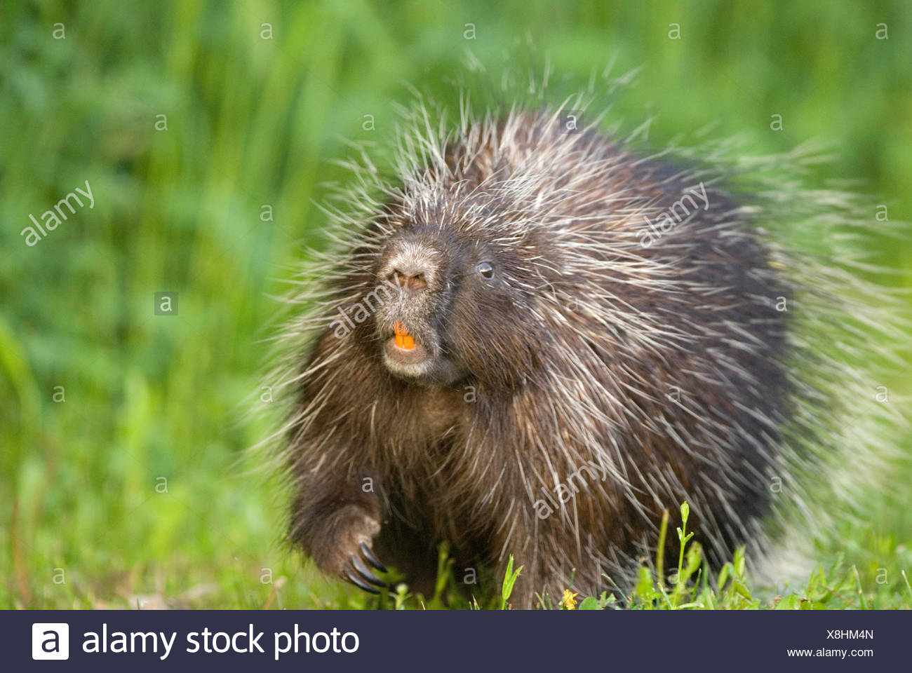 A Porcupine walking in the grass. Stock Photo