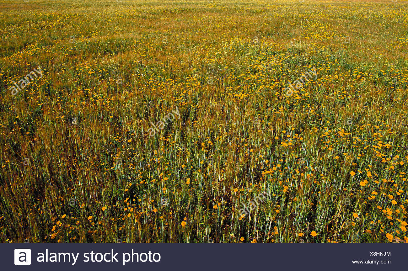 Guernsey. Sark. Close up of grass meadow with wild flowers. - Stock Image