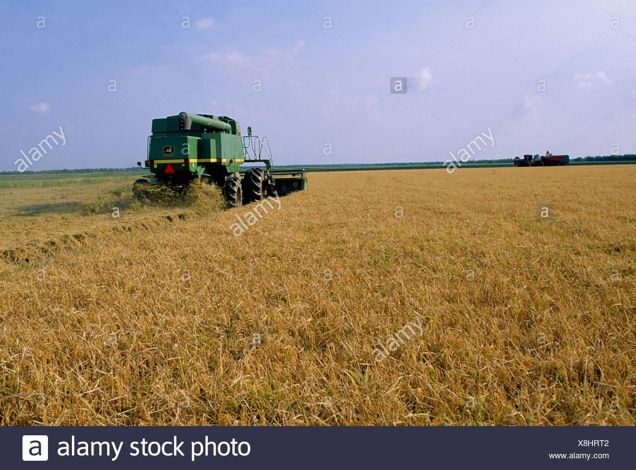 How long rice mature louisiana — photo 6