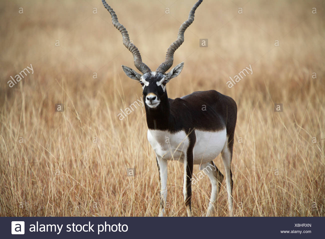 A Male Black Buck, Antelope cervicapra at Velavadar sanctuary, Gujrat, India. - Stock Image