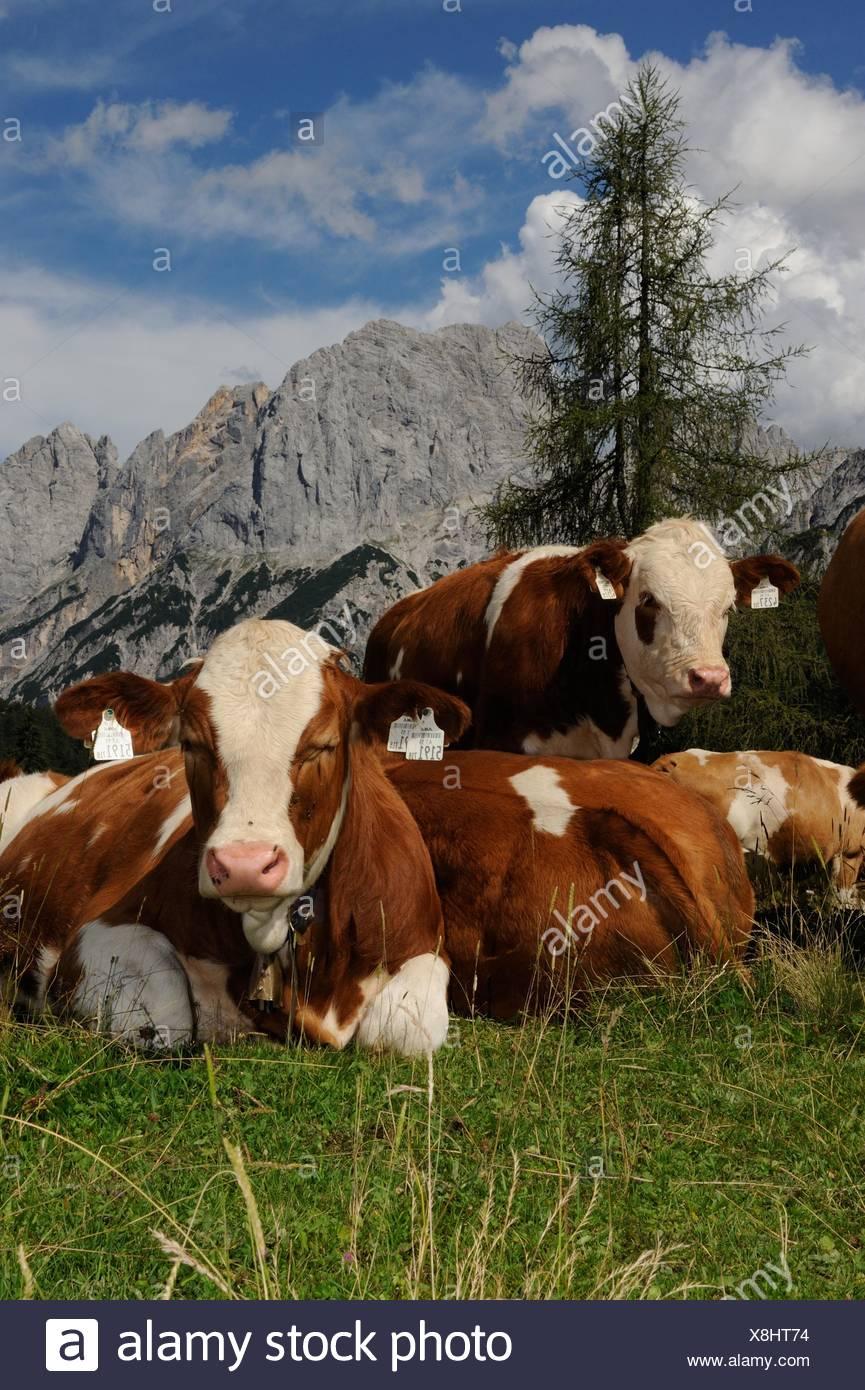 Cows at the Litzl Alp - Stock Image