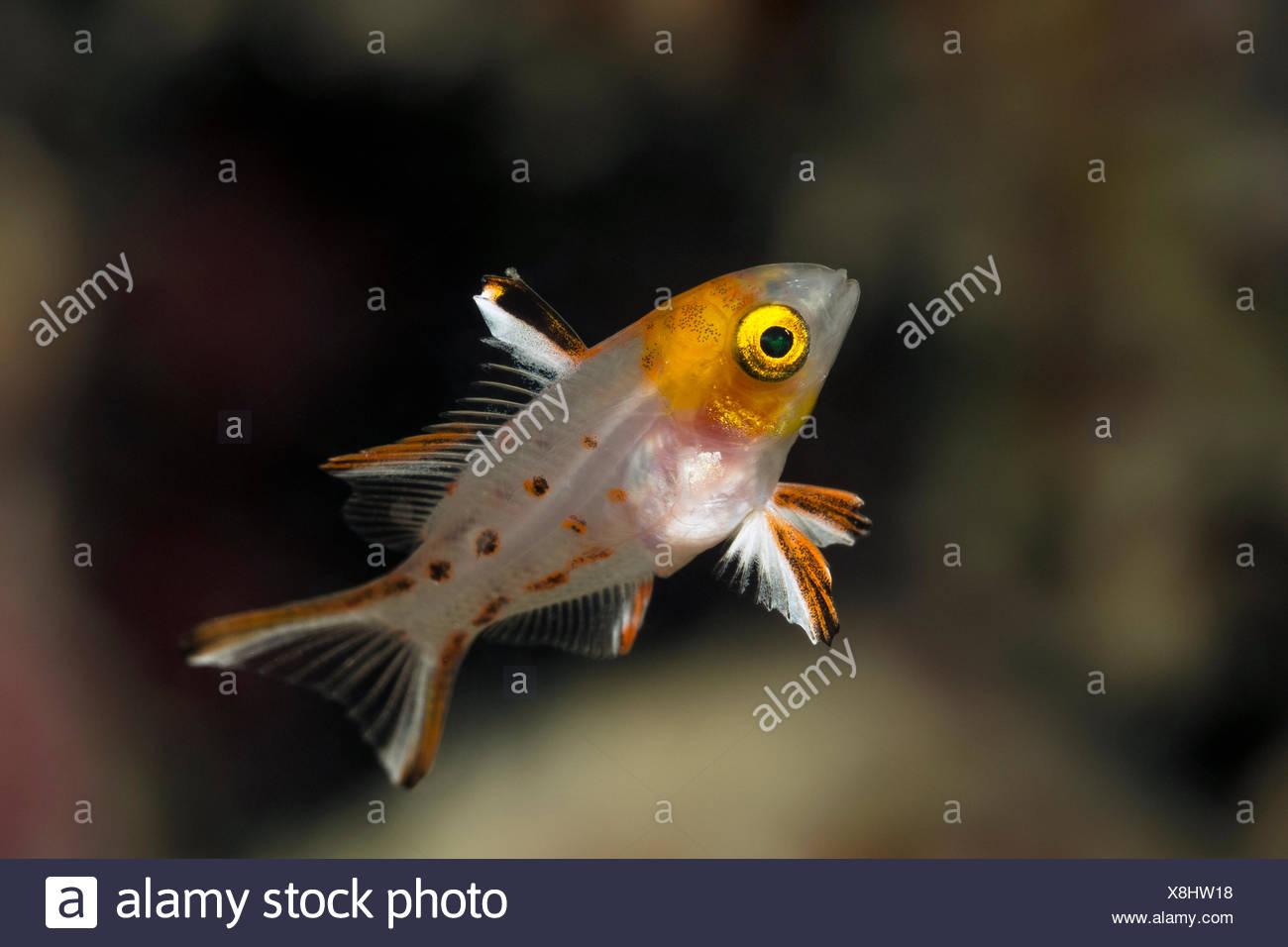 Juvenile Lyretail Hogfish, Bodianus anthioides, Marsa Alam, Red Sea, Egypt - Stock Image
