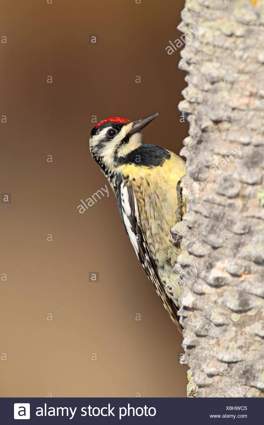 Yellow Bellied Sapsucker Sphyrapicus Varius Female Sitting On The Trunk Of A
