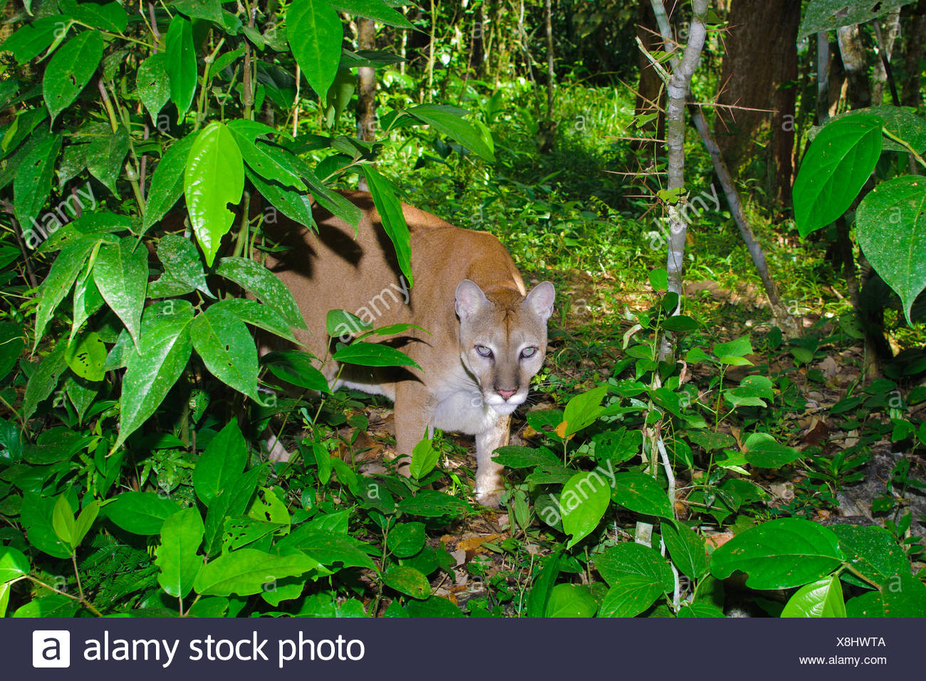 Central American Puma (Felis concolor), tropical rain forests, Belize, Central America Stock Photo