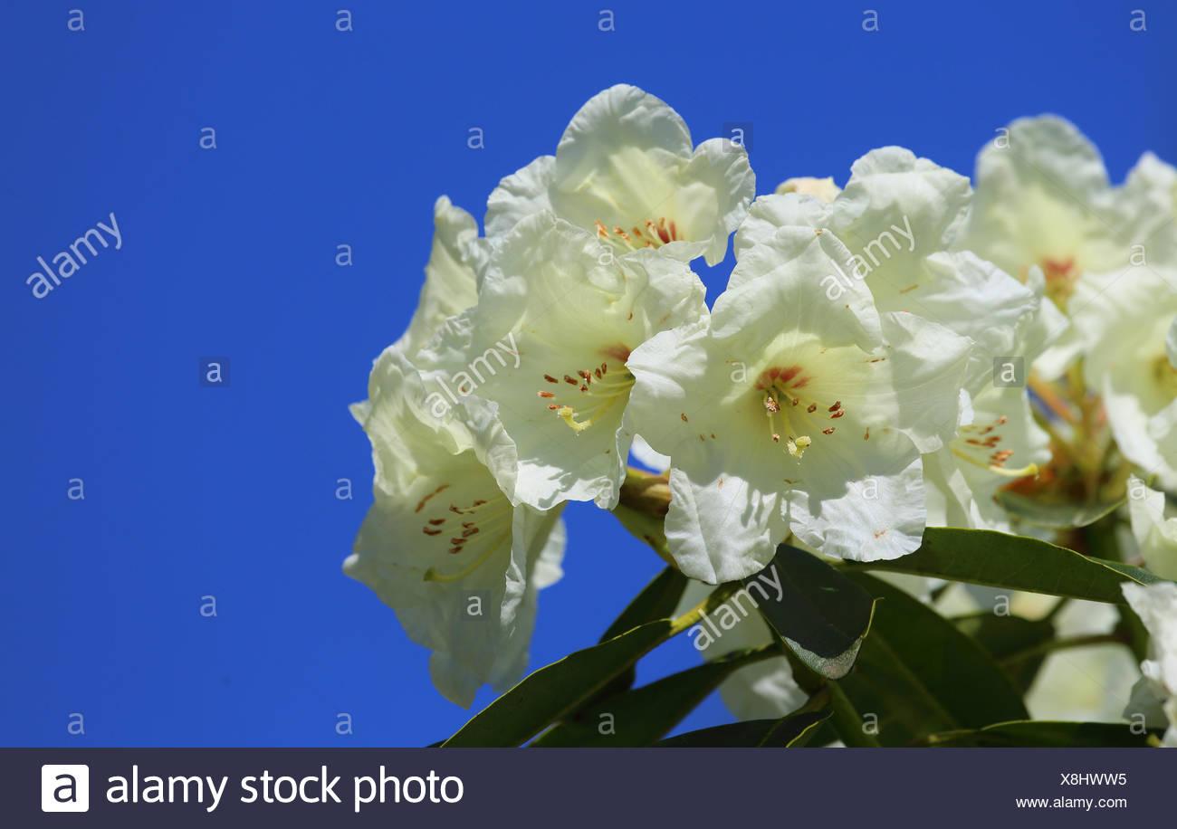 Blüten eines weißen Rhododendrons - Stock Image