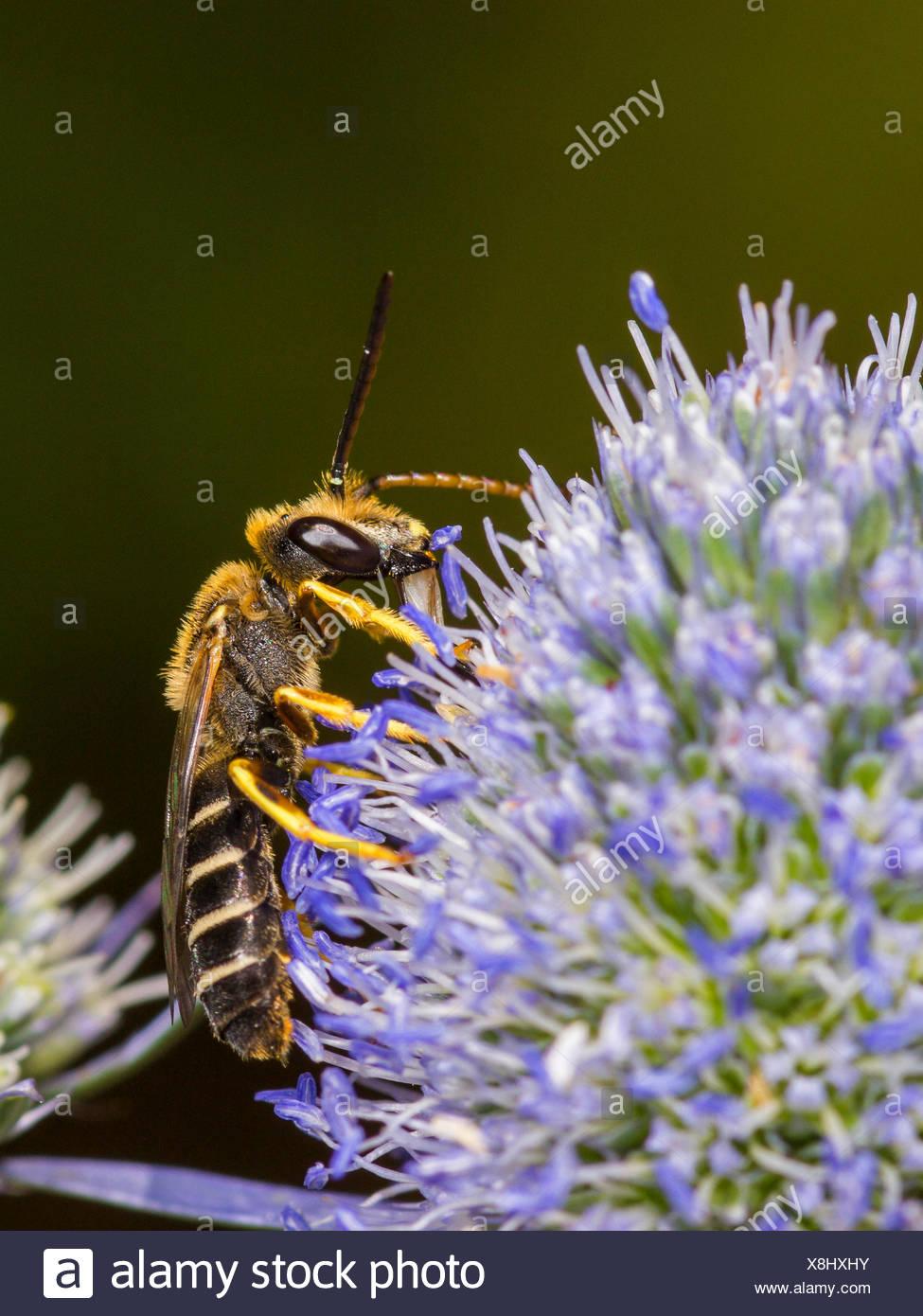 sweat bee (Halictus langobardicus), male foraging on Eryngo (Eryngium planum). , Germany - Stock Image