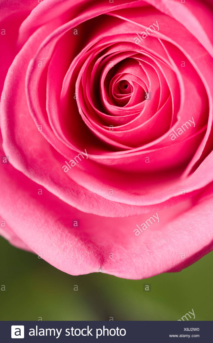 Pink rose, close-up, overhead view - Stock Image