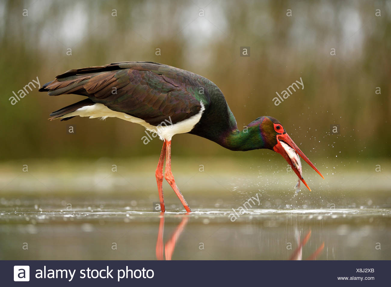 Black stork (Ciconia nigra), with prey, fish in beak, Kiskunság National Park, Hungary - Stock Image