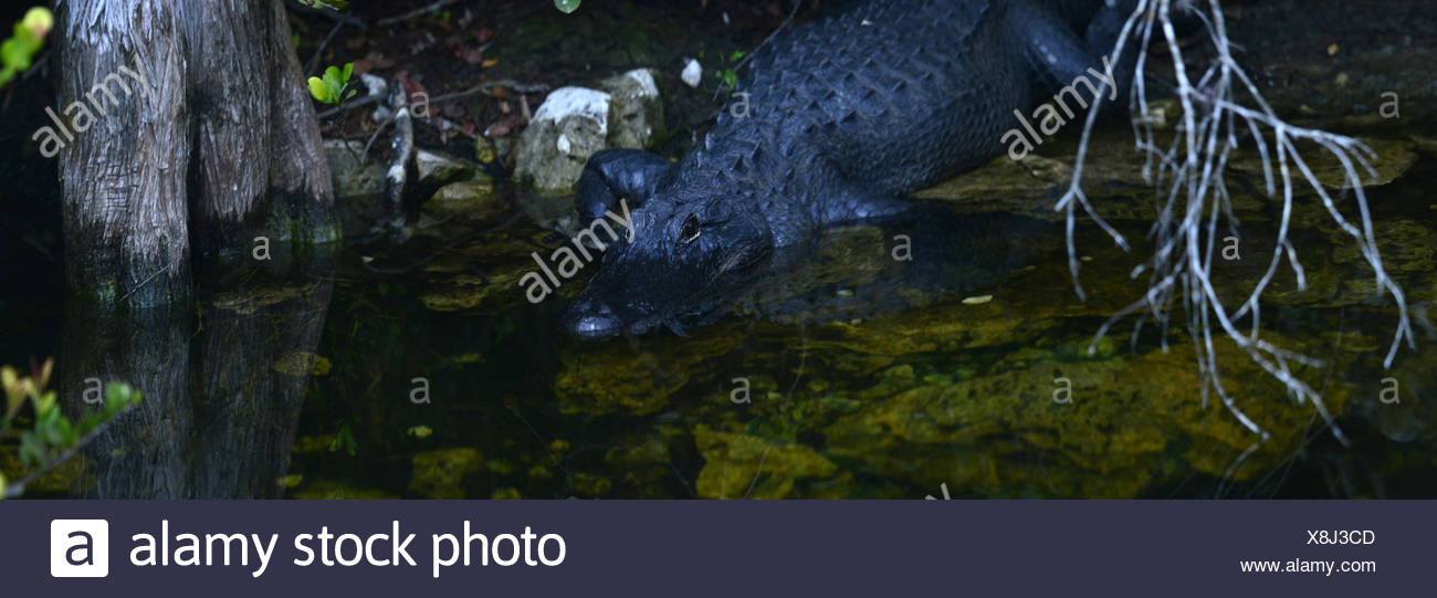 An american alligator in wetland. - Stock Image