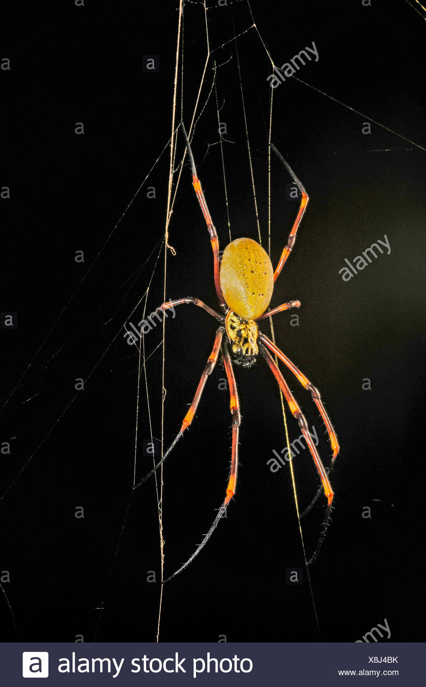 silk spiders (Nephilengys spec.), spider in its web, New Caledonia, Ile des Pins - Stock Image