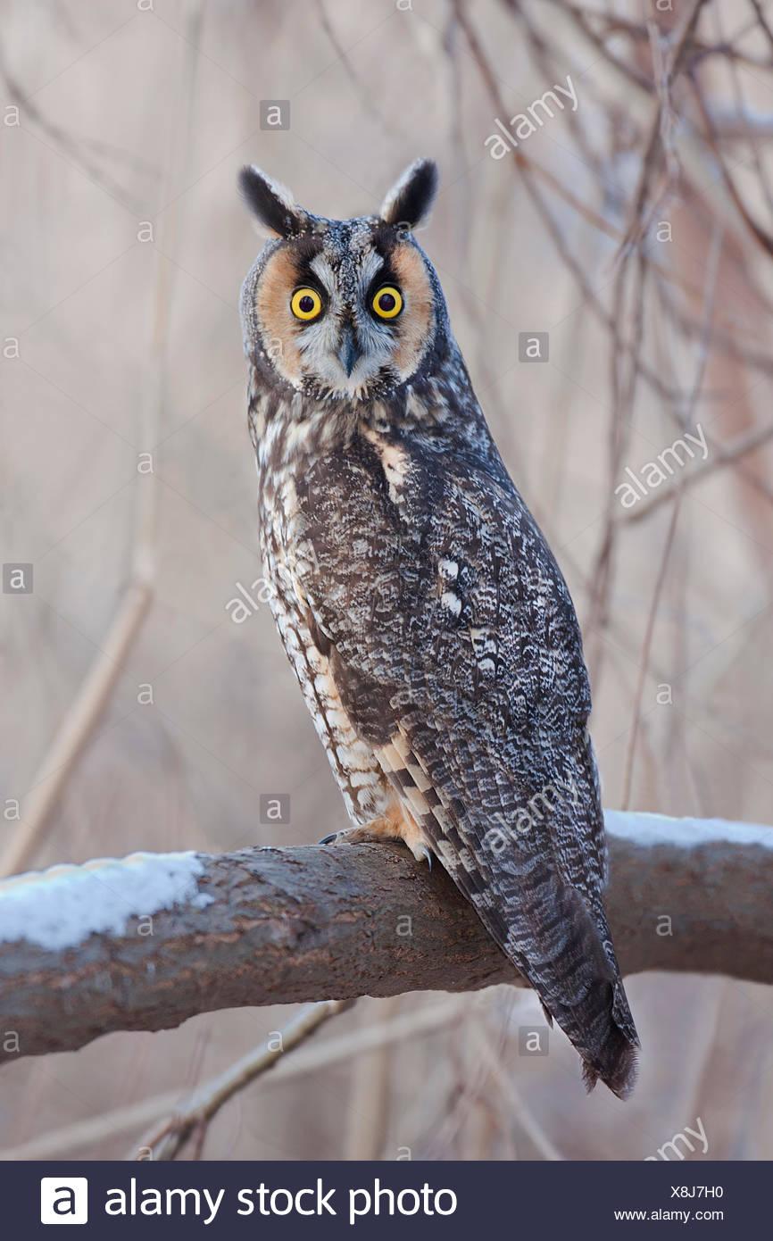 Long-eared Owl, Asio otus - Stock Image