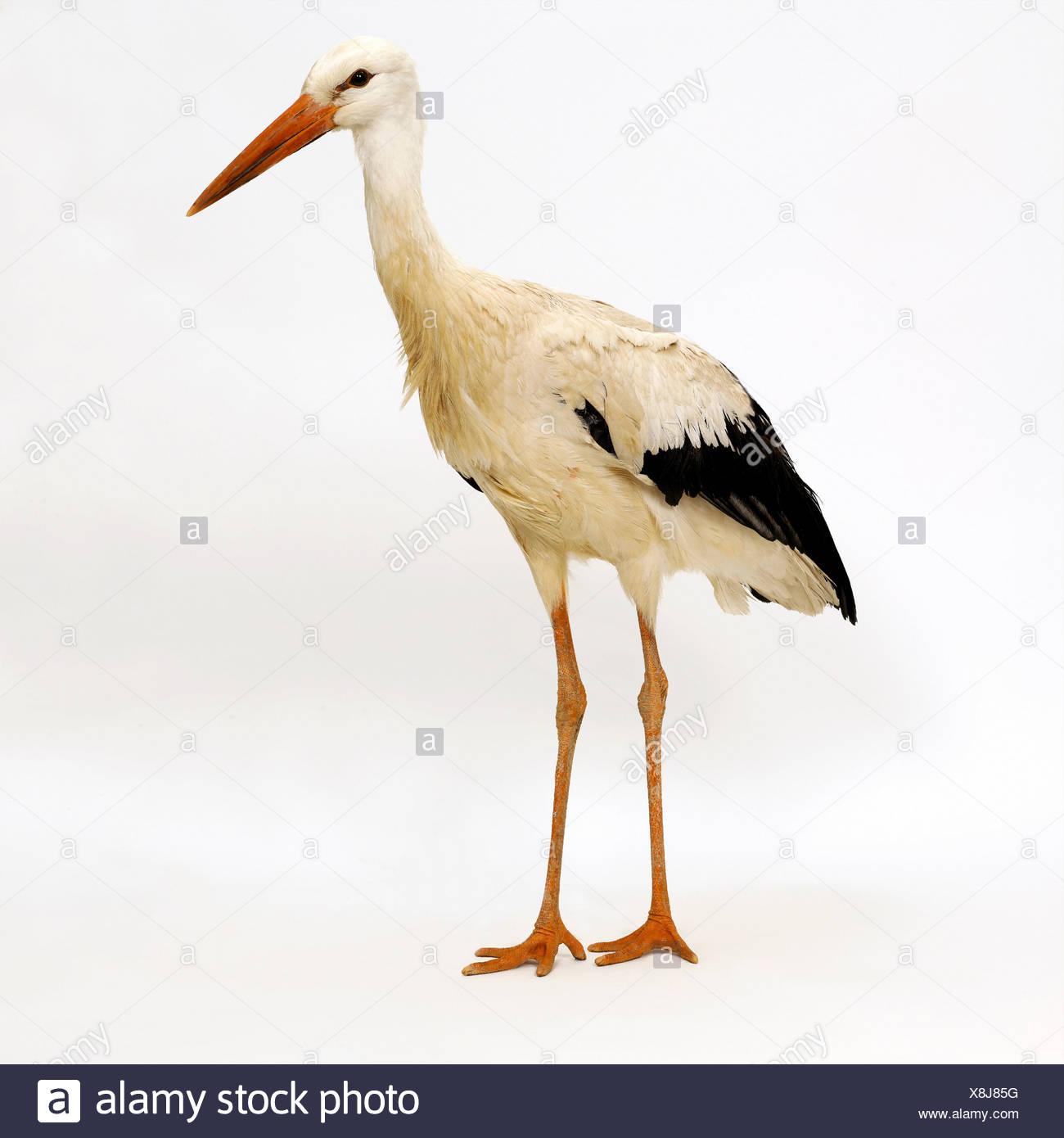 Stork - Stock Image