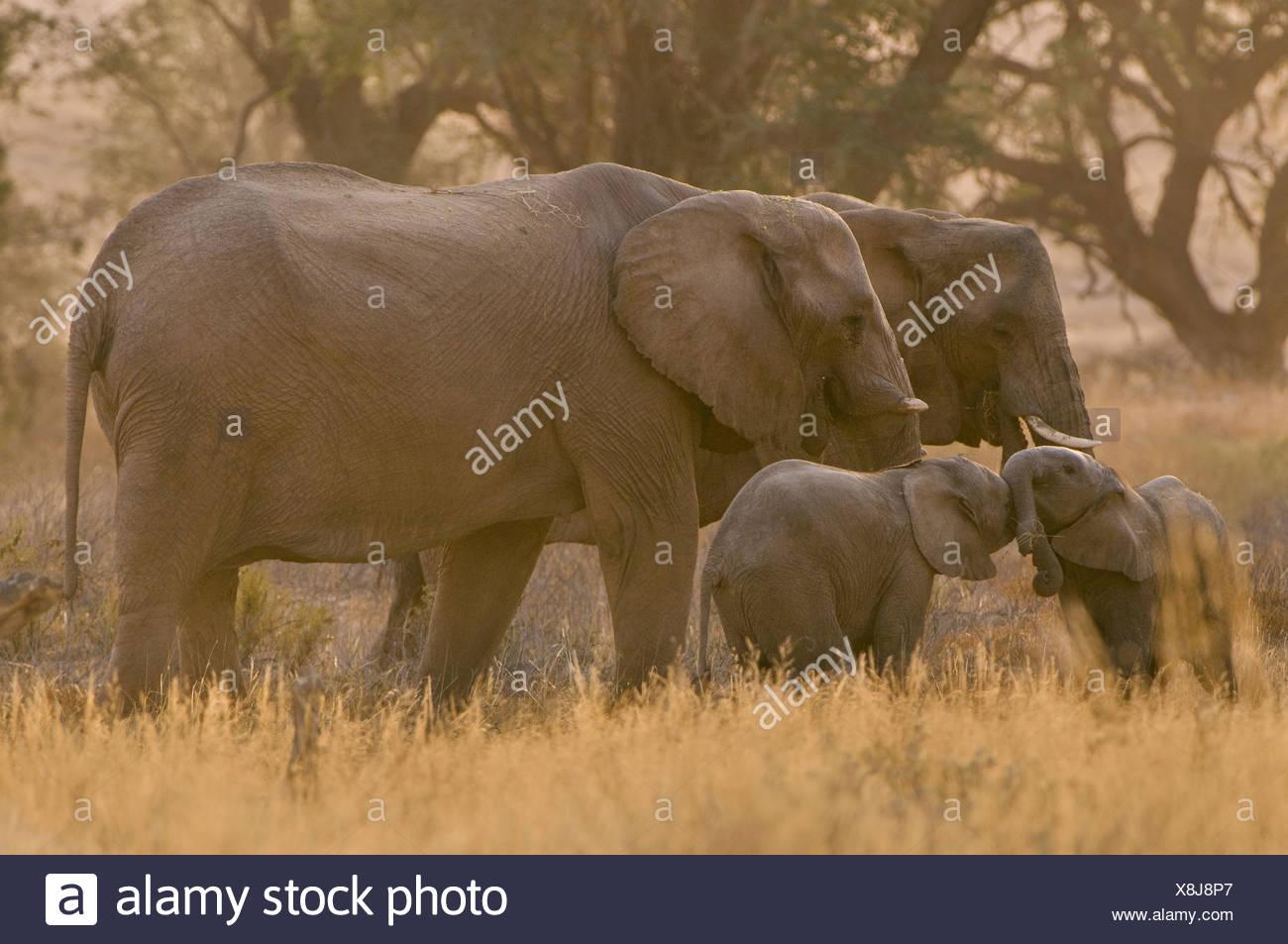 Desert elephant family Loxodonta africana Huab River Torra Conservancy Damaraland Namibia wildlife - Stock Image