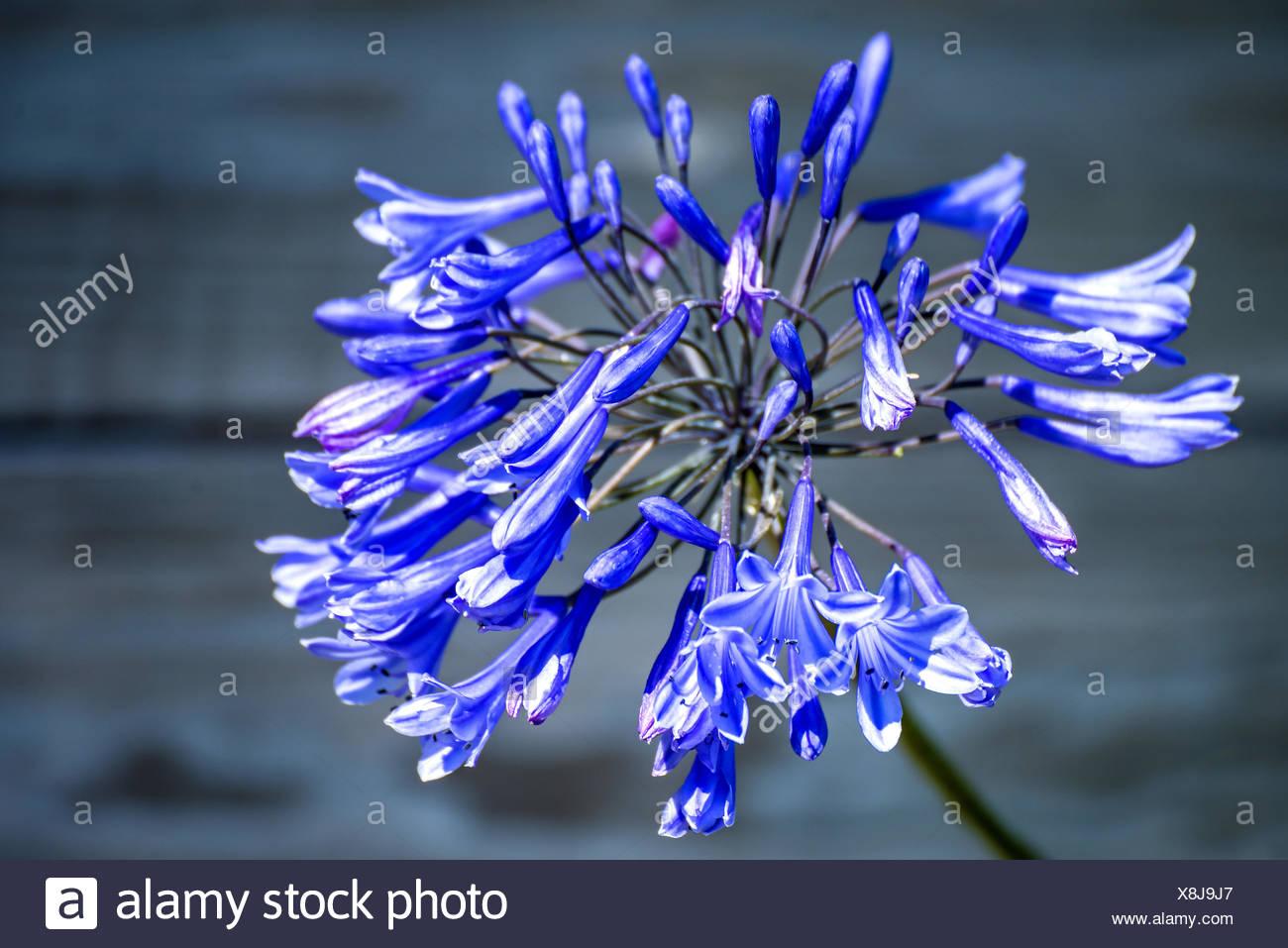 Agapanthus, Love flower. Stock Photo