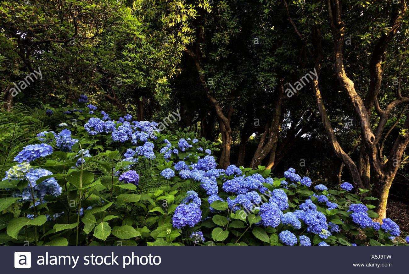 blooming, Hydrangea,  rhododendron arboreum , Villa Carlotta ,botanic garden, Tremezzina , Como Lake, Lombardy, Italy - Stock Image