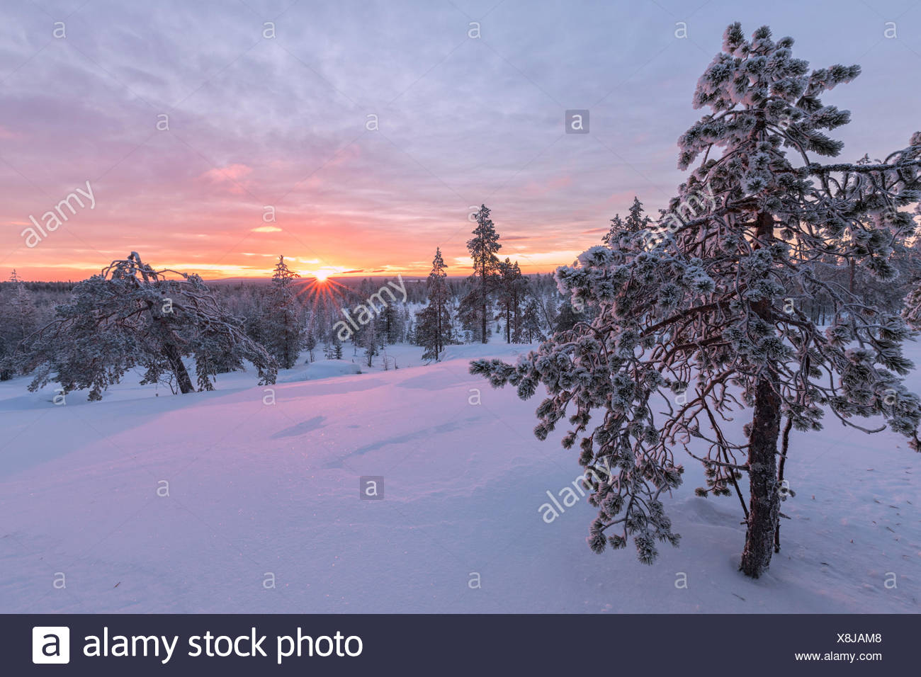 Pink lights of the arctic sunset illuminate the snowy woods Vennivaara Rovaniemi Lapland region Finland Europe Stock Photo