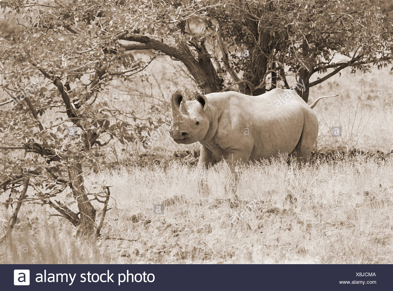 Rhino in long grass under tree, Africa - Stock Image