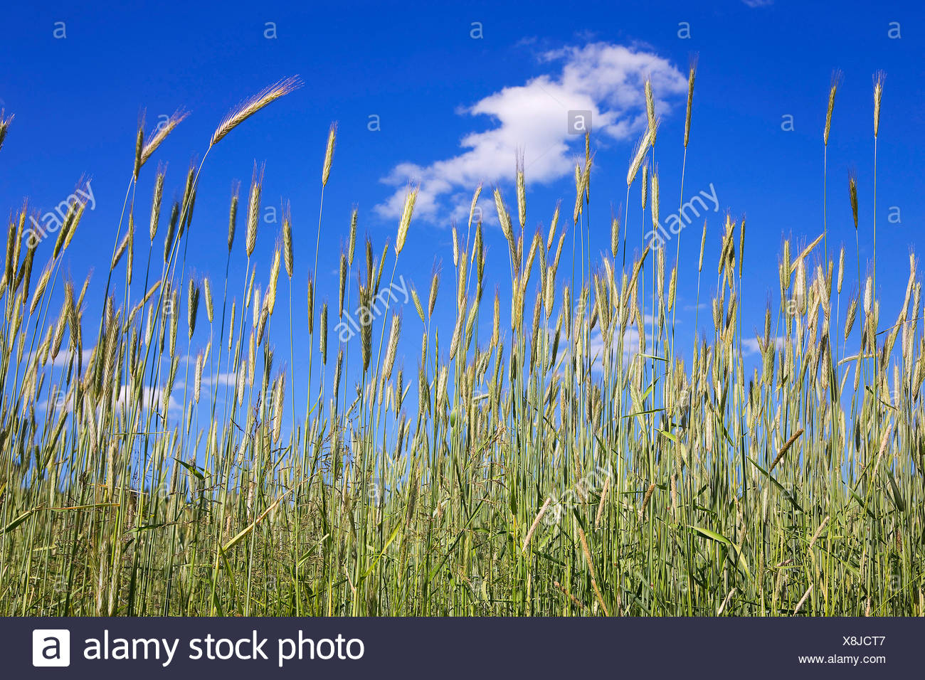 Nature, grass, plant, sky, blade of grass, meadow, blue, green, - Stock Image