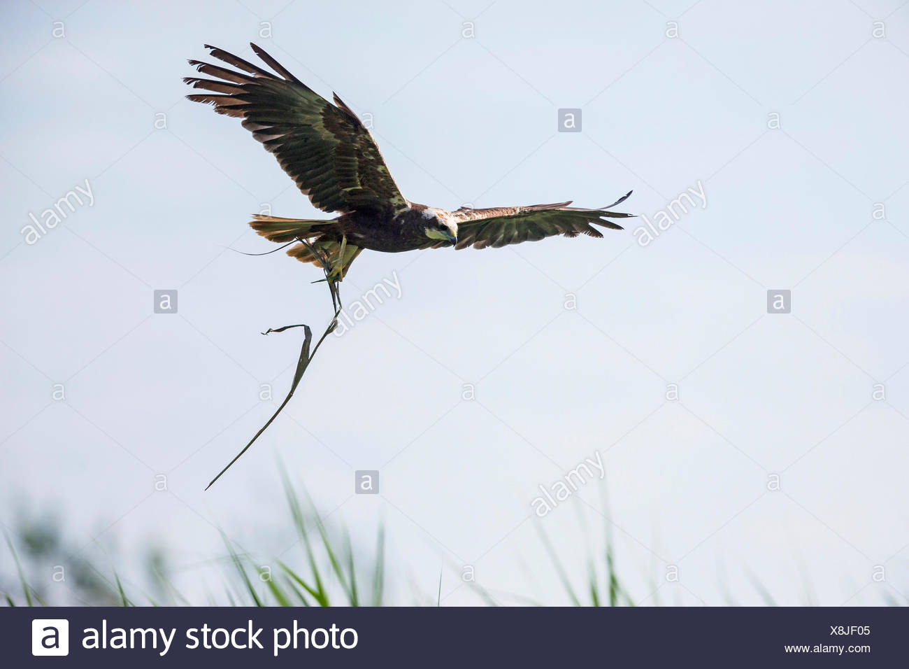 Western Marsh Harrier (Circus aeruginosus), female flying with reed in the clutches, Germany, Bavaria, Oberbayern, Upper Bavaria - Stock Image