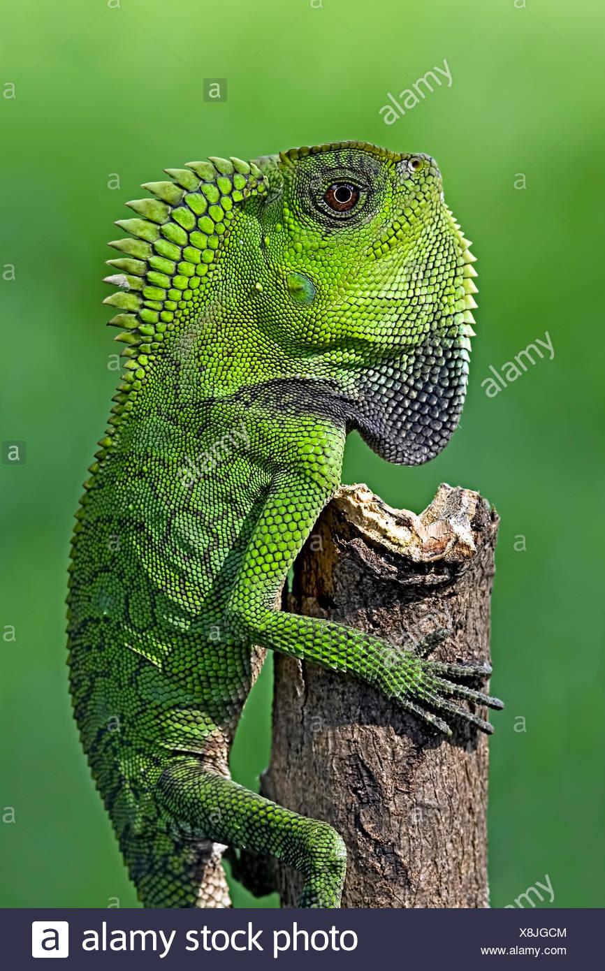 Chameleon crawling up a tree - Stock Image