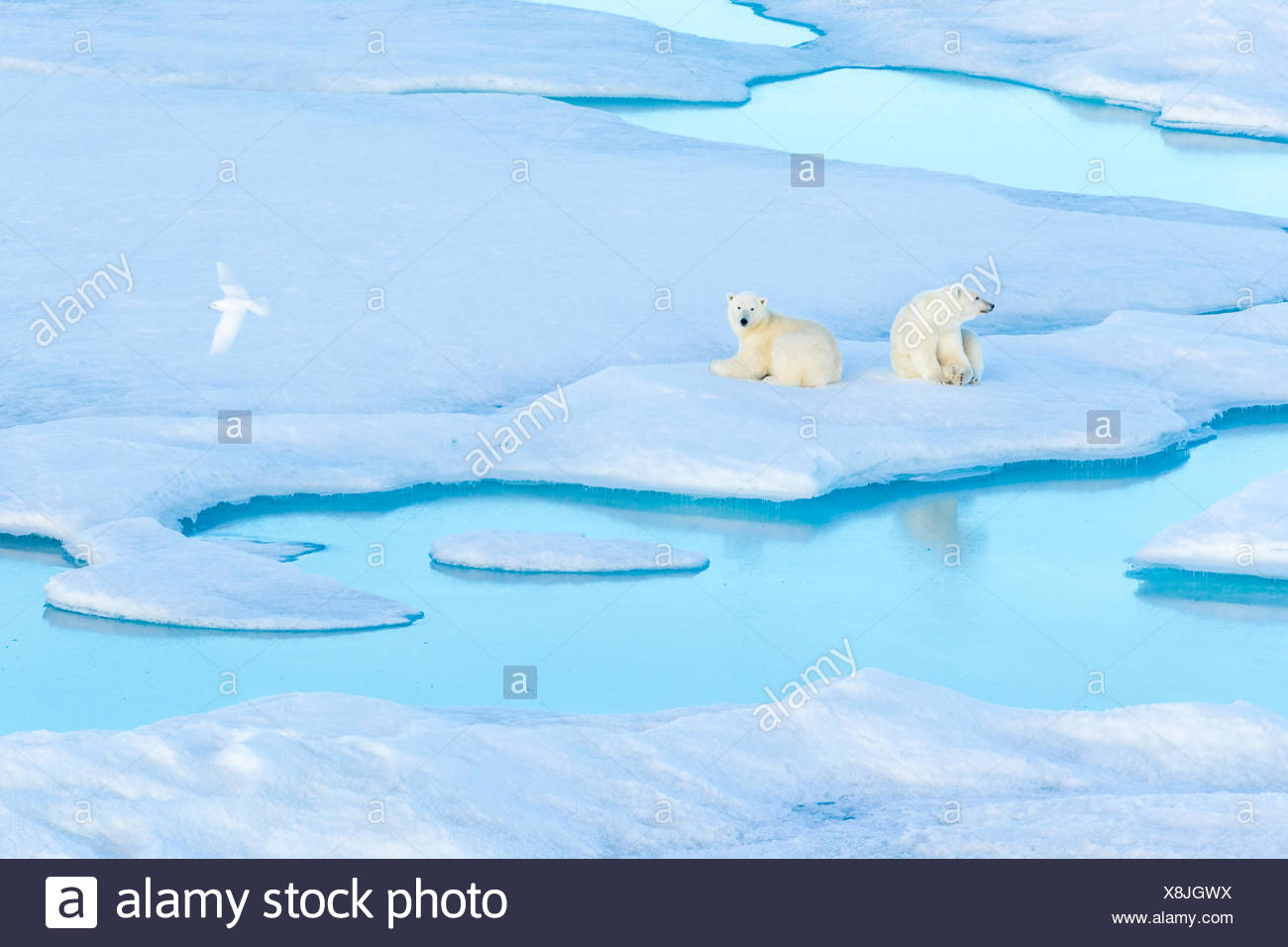 Resting polar bear cubs (Ursus maritimus) on an ice floe while an Ivory Gull flies by, Polar Bear Pass in Lancaster Sound. - Stock Image