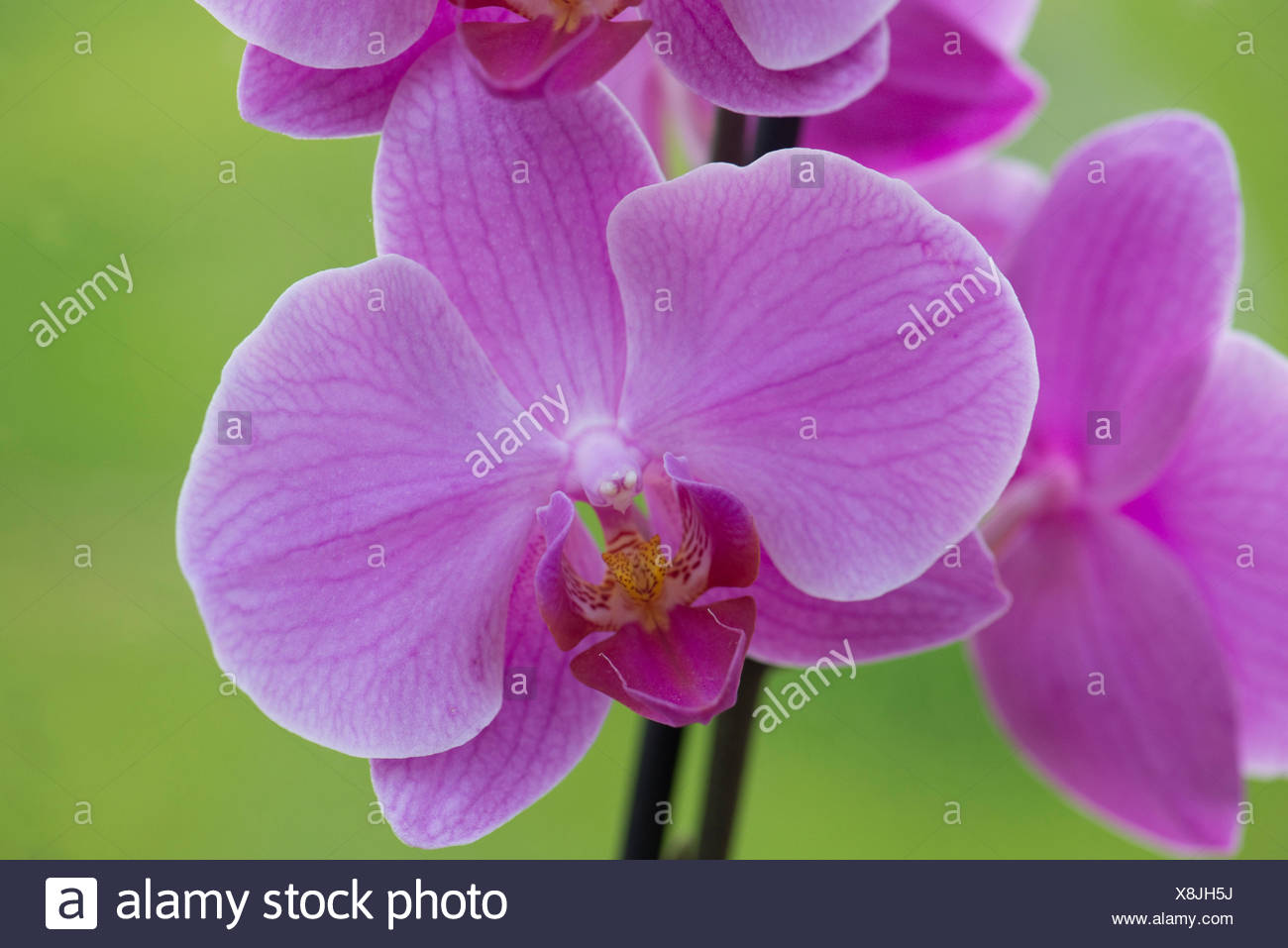 Pink flower of an indoor commercial pot grown moth orchid, Phaleanopsis, - Stock Image