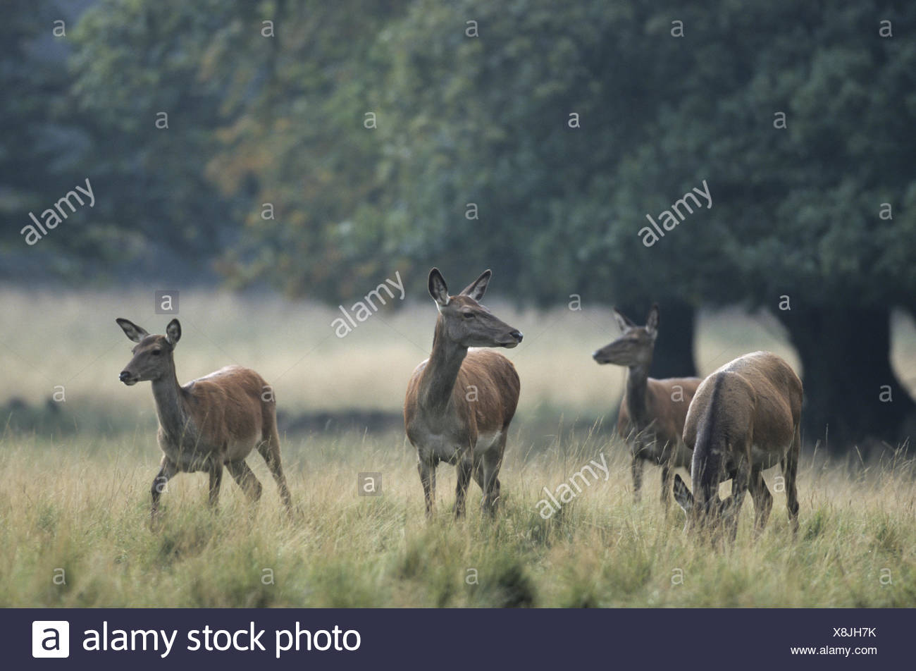 Red Deer hinds crossing a forest meadow Stock Photo